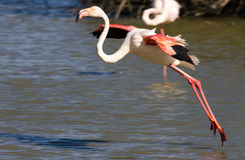 Flamingo preparing for touchdown Royalty Free Stock Images