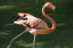 Flamingo, phoenicopter, walking in evening sun Stock Photography