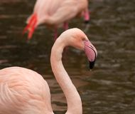 Flamingo pretty in pink!. A pretty pink flamingo just finished quenching its thirst with icy water Royalty Free Stock Photos