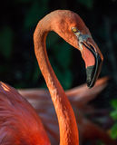 Flamingo on summer sunset. Pretty flamingo by summer sunset Stock Photography