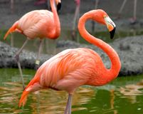 Flamingo Profile Royalty Free Stock Photography