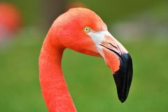 Flamingo Profile Royalty Free Stock Image