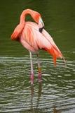Flamingo pruning Stock Photo