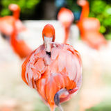 Flamingo que enfrenta em linha reta para a câmera Imagens de Stock Royalty Free