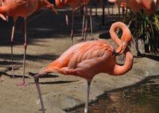Flamingo que está na água Fotografia de Stock