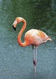 Flamingo in the rain. A single pink flamingo in the rain Stock Photo