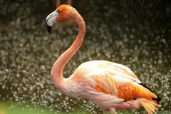 Flamingo in the rain. A pink flamingo standing in the rain Stock Photos