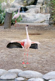 Flamingo raising its beautiful black and red wings Stock Photos