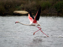 Flamingo ready to fly. A Flamingo ready to fly near Capoterra (Sardinia - Italy Royalty Free Stock Photo