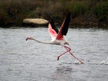 Flamingo ready to fly. A Flamingo ready to fly near Capoterra (Sardinia - Italy royalty free stock photo