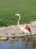 A Flamingo ready to fly with colorful wings Stock Images