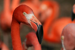 Flamingo - red portrait Stock Photography