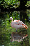 Flamingo Reflected. Pink flamingo reflected in water Royalty Free Stock Photography