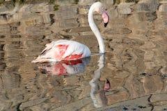 Flamingo reflection Stock Images