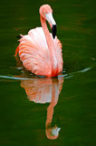 Flamingo and Reflection Royalty Free Stock Photo