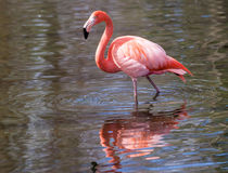 Flamingo Reflection Stock Photography