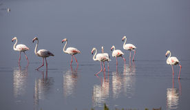 Flamingo Reflections. Reflections of a group of greater flamingo on water royalty free stock photos