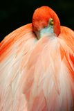 Flamingo at rest Stock Image