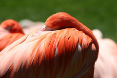 Flamingo at rest Stock Photos