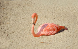 Flamingo resting Royalty Free Stock Photography