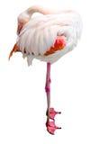 Flamingo Resting Stock Photo