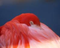 Flamingo resting Royalty Free Stock Image