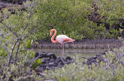 Flamingo Resting in a Secluded Coastal Lagoon Stock Image