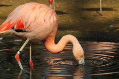 Flamingo in the Ripples Royalty Free Stock Image