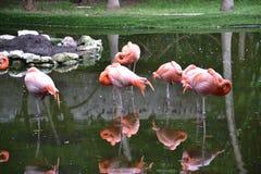 Flamingo, rosa, pássaros, trópicos, Iucatão, México Imagem de Stock