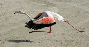 Flamingo running. Trying to fly Royalty Free Stock Images