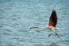 Flamingo running Fotografia de Stock Royalty Free