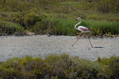 Flamingo running on a beach Royalty Free Stock Photos
