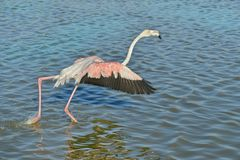 Flamingo running on water in Camargue stock photo