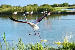 Flamingo running on water in Camargue stock photos