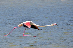 Flamingo running on water and fly royalty free stock photo