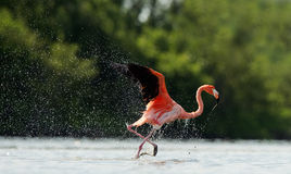 The flamingo runs on water with splashes Royalty Free Stock Photo