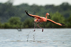 The flamingo runs on water with splashes Stock Images