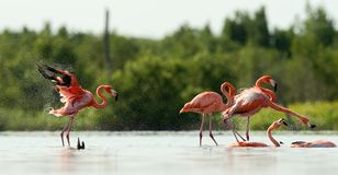 The flamingo runs on water with splashes Stock Image