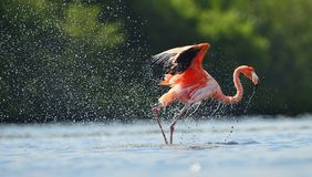 The flamingo runs on water with splashes Stock Photo