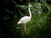 Flamingo só no lago fotos de stock