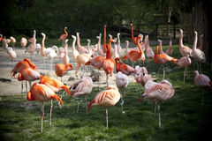 Flamingo's Royalty-vrije Stock Afbeeldingen