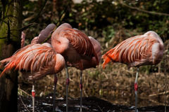 Flamingo's. These flamingo are doing a nap Royalty Free Stock Image