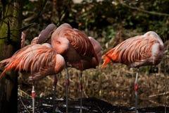 Flamingo's Royalty Free Stock Image