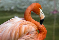 Flamingo in S Stock Photography
