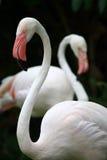 Flamingo's Stock Afbeelding