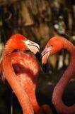 Flamingo's Stock Fotografie