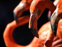 Flamingo's Royalty-vrije Stock Foto's