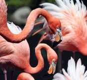 Flamingo's Stock Fotografie