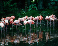 Flamingo's Stock Foto