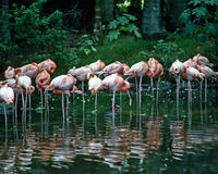 Flamingo's Royalty-vrije Stock Fotografie